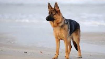 The best videos of German Shepherds