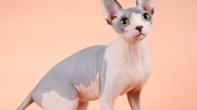 The best videos of Sphynx