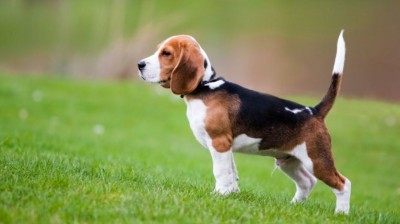 The best Beagles videos
