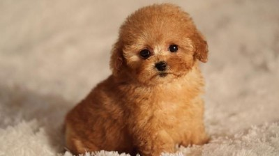 The best videos of Poodles